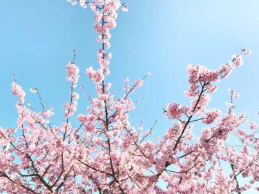 熊野市の山崎運動公園の河津桜(カワヅザクラ)